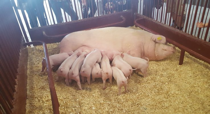New Jersey 4-H Swine Projects – What Kind of a Mess Have I Gotten Myself Into?