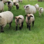 Market Lamb Selection:  Finding the Cream of the Flock, Part 1