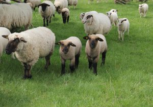 photo of lambs with ewes