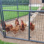 Protecting Your Poultry – Biosecurity