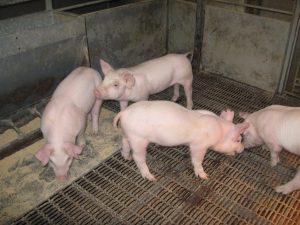 white pigs
