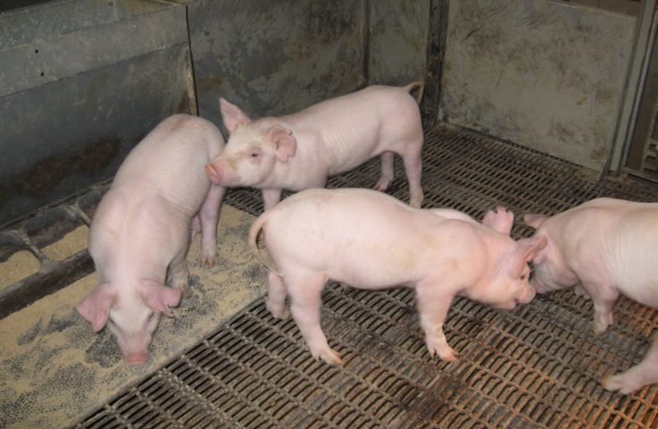 Math Isn't Hog Wash When It Comes To 4-H Swine Projects