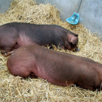 Porky Was Wrong; That IS NOT All Folks – Preparing For Your 4-H Market Swine Project