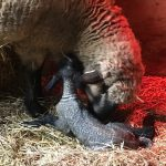 Understanding Lambing Behavior
