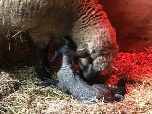 ewe licking newborn lamb