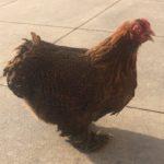 Chicken History