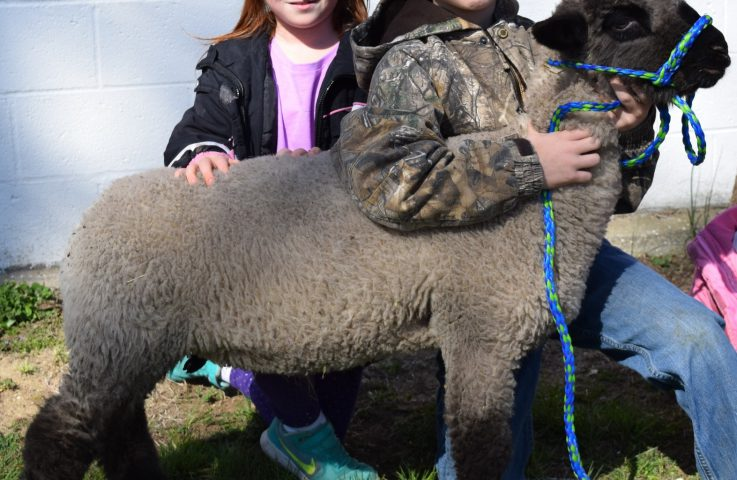 Market Lamb Selection: Finding the Cream of the Flock, Part 2
