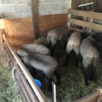 Lambs are shown in a creep feeder eating.