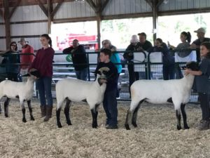 4-H members Julie McKenna, of Somerset County, Steven Quattrock, Hunterdon County, and Emily Granja, Somerset County, compete in a Hampshire spring ewe lamb class at the Garden State Sheep Breeders Festival in September 2017.