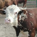 Common Viral Diseases of Cattle
