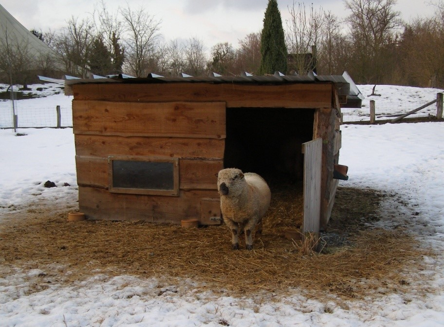 A sheep stands in front of a shed with snow on the ground.