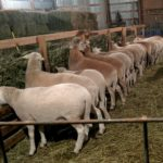 Pregnant ewes shown eating hay from a feeder. Photo courtesy of Deer Creek Farms.