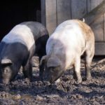 """Don't Root For That!"" – Why All Aren't Fans of Swine Rooting Behavior"