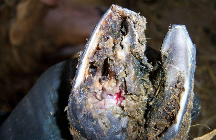 Understanding and Treating Sheep Hoof Ailments