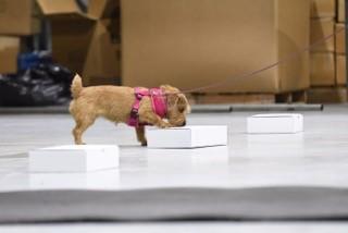 Dog indicates location of odor.