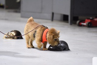 Small dog in competition.