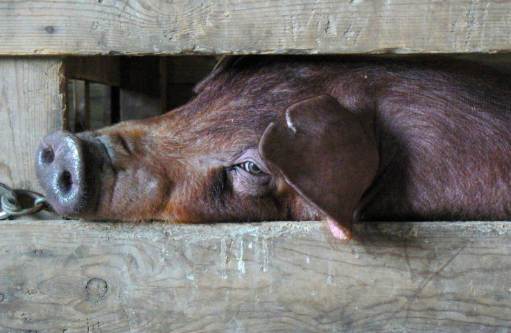 I'm All Ears – Understanding the Universal Ear-Notching System for Swine