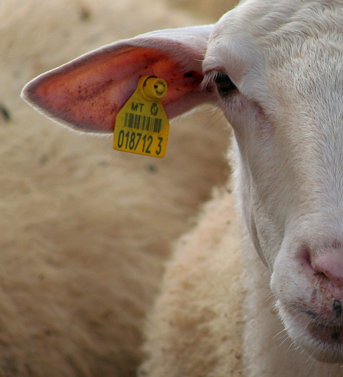Photo of ewe with an ear tag