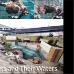 Otters visit us on zoom