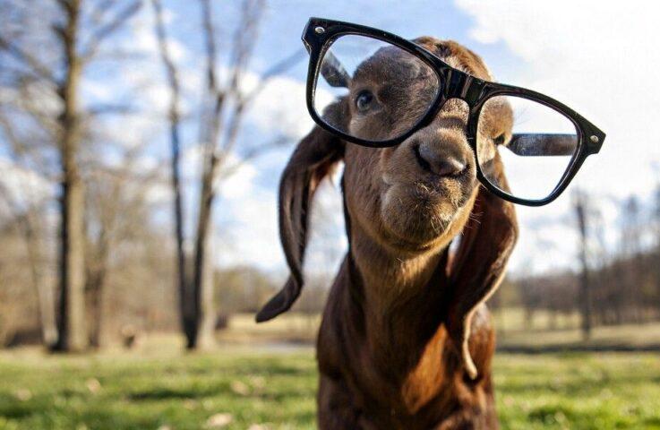 Goat Extravaganza Quiz Bowl Contest