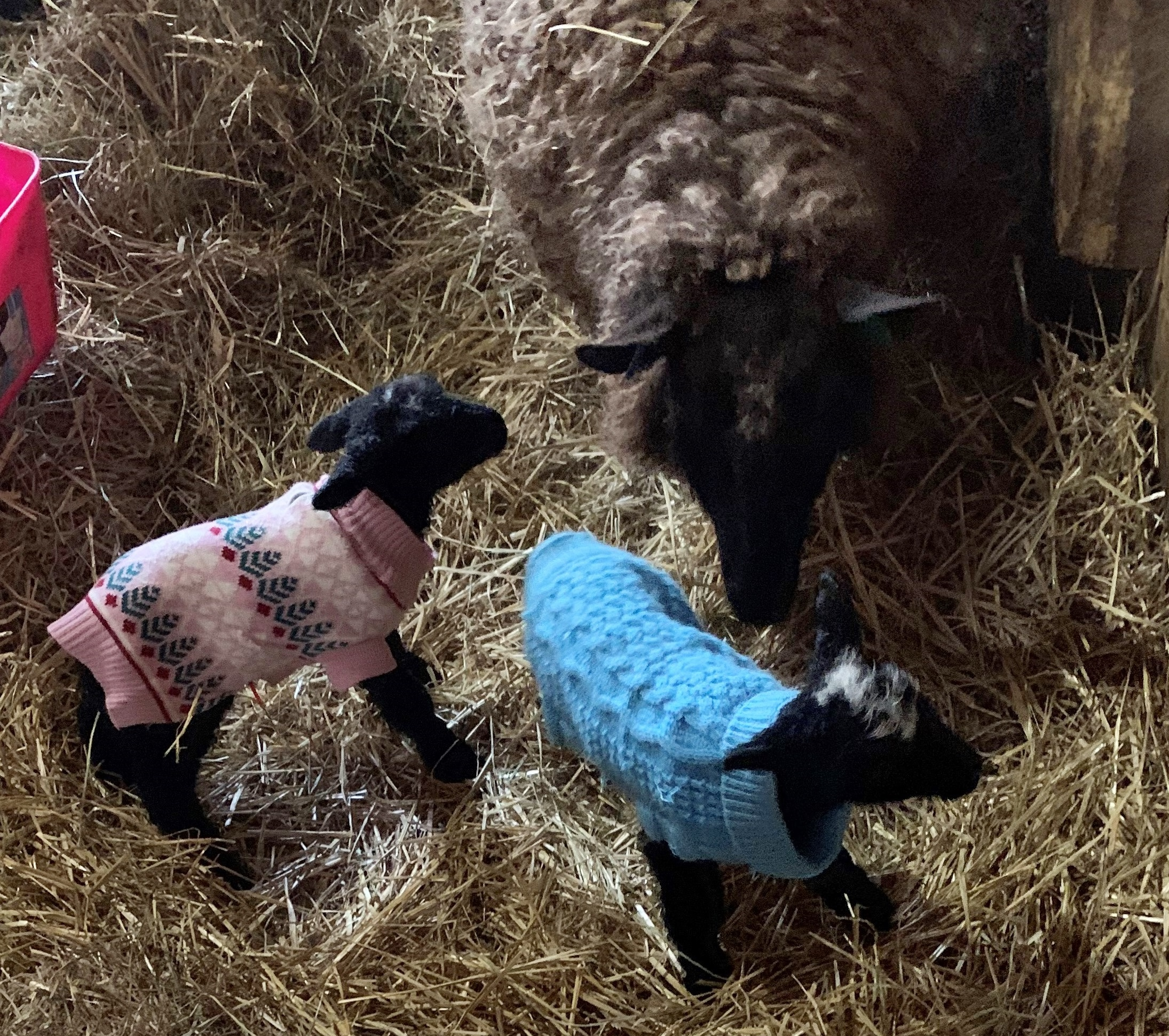 Border Leicester ewe with twin lambs